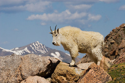 """Mountain Goat on High"""