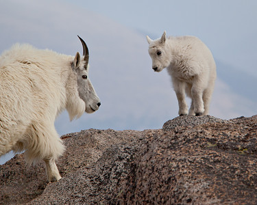 """I'm OK Up Here, Mom. Really!""  A nanny mountain goat (Oreamnos americanus) and newborn kid. Taken in the Mt. Evans Wilderness Area, Colorado, USA."