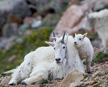 """You're So Nice and Warm, Mom""  The mountain goat kid was ready to take a nap. No wonder after traveling up and down the 14,000-foot peak only days after being born! Taken in the Mt. Evans Wilderness Area, Colorado, USA."