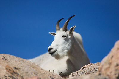 """Skylined""  The goats always look spectacular against a high-altitude sky."