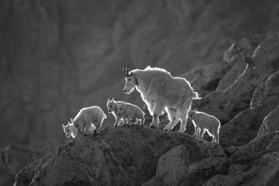 """Backlit Mountain Goats""  The mountain goats (Oreamnos americanus) travel in ""nursery groups."" In this case, a single nanny goat was moving down the mountain with five newborn kids. An amazing sight, right as the sun was about to set. The wind was blowing all kinds of fur, dust, and rock around as this was happening. Taken in the Mt. Evans Wilderness Area, Colorado, USA."