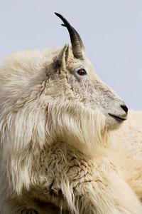 """""""Goat Portrait"""""""