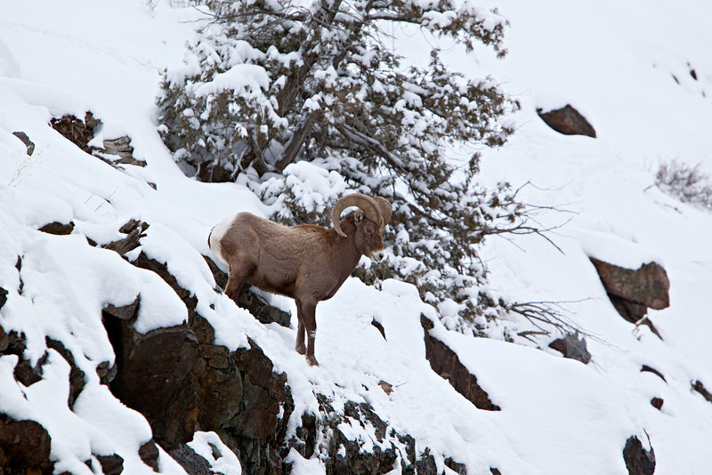 A bighorn sheep (Ovis canadensis) ram descends from the mountain after a snowstorm. Taken near Ouray, on Red Mountain Pass, Colorado, USA.