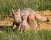A swift fox (Vulpes velox) vixen nurses her kits, as one of them has finished and looks around. Taken in the Pawnee National Grassland of Colorado, USA.