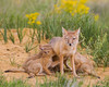 A swift fox (Vulpes velox) vixen winks as she nurses her young. Taken in the Pawnee National Grassland of Colorado, USA.
