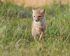 A swift fox (Vulpes velox) kit run through the grass on the prairie. Taken in the Pawnee National Grassland of Colorado, USA.