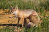 It's nursing time for the swift fox (Vulpes velox) kits. Taken in the Pawnee National Grassland of Colorado, USA.