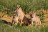 A swift fox (Vulpes velox) vixen with her two young kits. Taken in the Pawnee National Grassland of Colorado, USA.