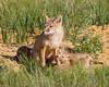 A swift fox (Vulpes velox) kit playfully bites its mother's leg. Taken in the Pawnee National Grassland of Colorado, USA.