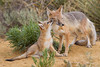 A swift fox (Vulpes velox) vixen, or female, with her young kit. Taken in the Pawnee National Grassland, Colorado, USA. Taken in the Pawnee National Grassland, Colorado, USA.