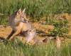 A swift fox (Vulpes velox) kit looks up at its mother. Taken in the Pawnee National Grassland of Colorado, USA.