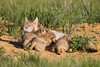 The swift fox (Vulpes velox) vixen usually stands while nursing, but this time she decided to lie down and so did her kits. Taken in the Pawnee National Grassland of Colorado, USA.
