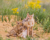 A swift fox (Vulpes velox) vixen nurses her young. Taken in the Pawnee National Grassland of Colorado, USA.