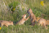 Two swift fox (Vulpes velox) kits at play, with two more about to join in on the fun. Taken in the Pawnee National Grassland of Colorado, USA.