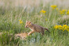 A swift fox (Vulpes velox) kit amongst the wildflowers next to its den. Taken in the Pawnee National Grassland of Colorado, USA.