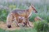 Two swift fox (Vulpes velox) kits at play under their mother, with another sibling watching. Taken in the Pawnee National Grassland of Colorado, USA.