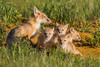 A swift fox (Vulpes velox) vixen and her alert young kits. Taken in the Pawnee National Grassland of Colorado, USA.