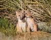 Two swift fox (Vulpes velox) kits at play. Taken in the Pawnee National Grassland, Colorado, USA. Taken in the Pawnee National Grassland, Colorado, USA.