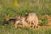 A swift fox (Vulpes velox) vixen grooms her kit while he plays with a sibling. Taken in the Pawnee National Grassland of Colorado, USA.