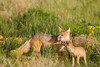 A swift fox (Vulpes velox) vixen with her young. Taken in the Pawnee National Grassland of Colorado, USA.