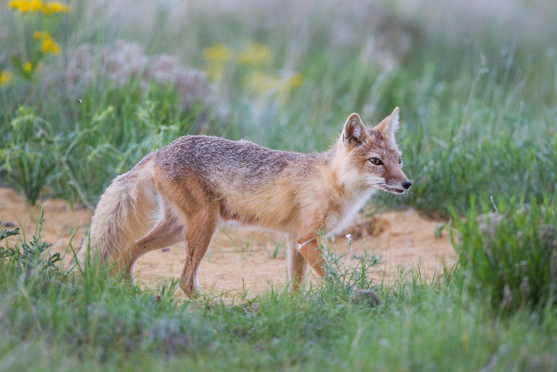 A swift fox (Vulpes velox) vixen prepares to go out on a hunt on the prairie. Taken in the Pawnee National Grassland of Colorado, USA.