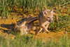 Two swift fox (Vulpes velox) kits playing. Taken in the Pawnee National Grassland of Colorado, USA.