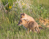 Two swift fox (Vulpes velox) kits at play. Taken in the Pawnee National Grassland of Colorado, USA.
