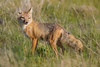 A swift fox (Vulpes velox) vixen about to go out on a hunt. Taken in the Pawnee National Grassland of Colorado, USA.