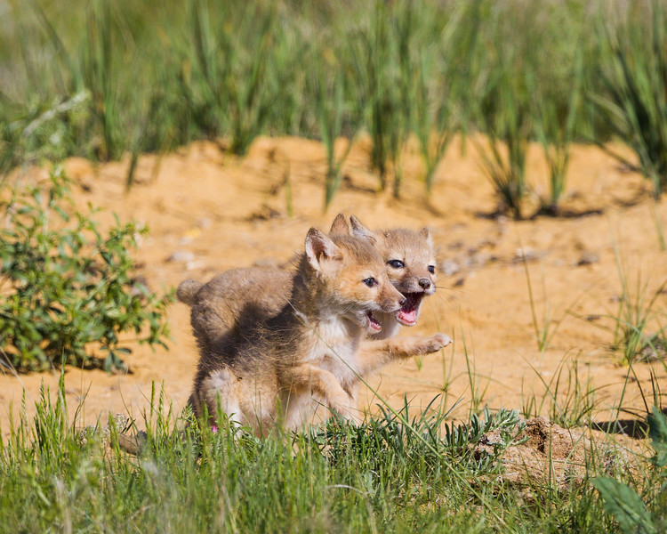 Swift fox (Vulpes velox) kits, play at the den. Taken in the Pawnee National Grassland of Colorado, USA.