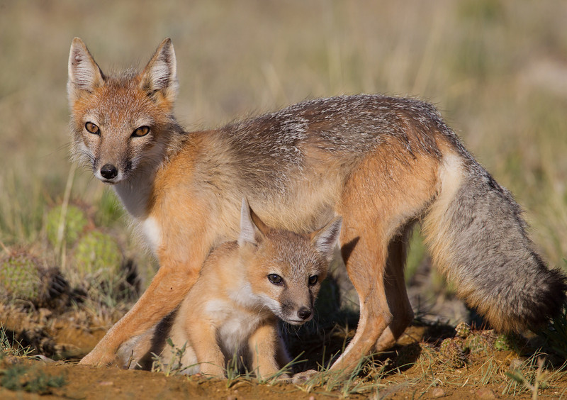 A swift fox (Vulpes velox) kit, or baby, crawls underneath its mother, the vixen. Taken in the Pawnee National Grassland, Colorado, USA. Taken in the Pawnee National Grassland, Colorado, USA.