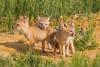 Three swift fox (Vulpes velox) kits. Taken in the Pawnee National Grassland of Colorado, USA.