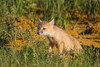 Two swift fox (Vulpes velox) kit takes a sniff of a wildflower at its den. Taken in the Pawnee National Grassland of Colorado, USA.
