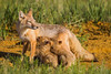 A swift fox (Vulpes velox) vixen nurses her kits. Taken in the Pawnee National Grassland of Colorado, USA.