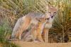Swift fox (Vulpes velox). Taken in the Pawnee National Grassland, Colorado, USA.