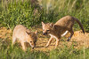 Two swift fox (Vulpes velox) kits at play nexto tyou their den. Taken in the Pawnee National Grassland of Colorado, USA.