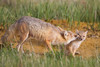 A swift fox (Vulpes velox) vixen grooms her young kit. Taken in the Pawnee National Grassland of Colorado, USA.