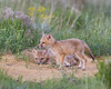 Two swift fox (Vulpes velox) kits stay close to the den hole. Taken in the Pawnee National Grassland of Colorado, USA.