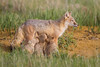 A swift fox (Vulpes velox) vixen nurses her young kits. Taken in the Pawnee National Grassland of Colorado, USA.