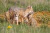 A swift fox (Vulpes velox) vixen with her young kits. Taken in the Pawnee National Grassland of Colorado, USA.