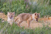 A swift fox (Vulpes velox) kit is interested in the wildflowers growing next to its den, while its sibling keeps watch. Taken in the Pawnee National Grassland of Colorado, USA.