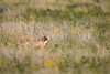 A swift fox (Vulpes velox) dog on the prairie. Taken in the Pawnee National Grassland of Colorado, USA.