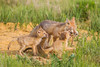 A swift fox (Vulpes velox) vixen has returned from the hunt with a thirteen-lined ground squirrel (Citellus tridecemlineatus) for her young kits. Taken in the Pawnee National Grassland of Colorado, USA.