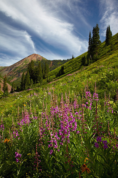 Fireweed (Epilobium angustifolium), a wildflower growing near Crested Butte, Gunnison National Forest, Colorado, USA. The peak in the background is Cinnamon Mountain A, one of the Ruby Range of the Elk Mountains.