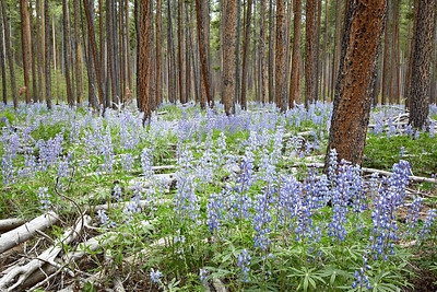 Lodgepole lupine (Lupinus parviflorus) wildflowers growing beneath pine trees in the Gunnison National Forest, Cottonwood Pass, Colorado, USA. Many of the pines have been cut down by man, and others are marked for cutting.