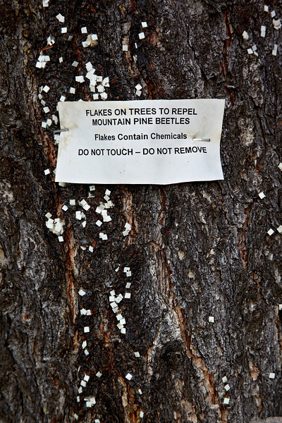 Pine trees with flakes, placed there to repel mountain pine beetles (Dendroctonus ponderosae). Taken in the Roosevelt National Forest, Colorado, USA.