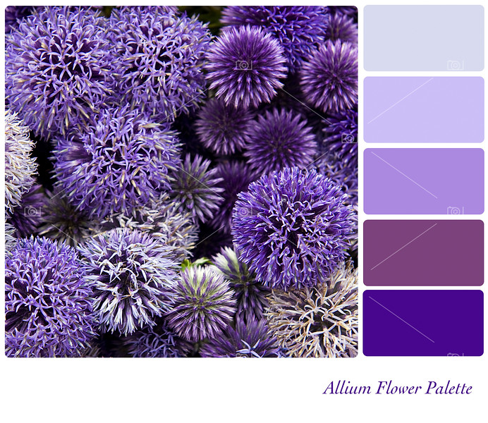 Allium flower palette