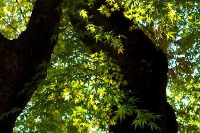 秋を待つ古木