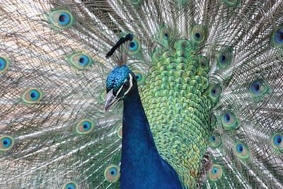 peacock/060412
