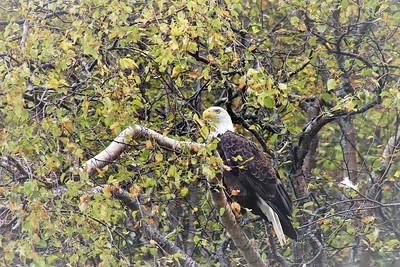 Bald Eagle/090319