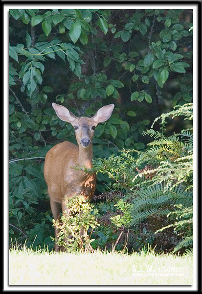 Black-tailed Deer - Doe